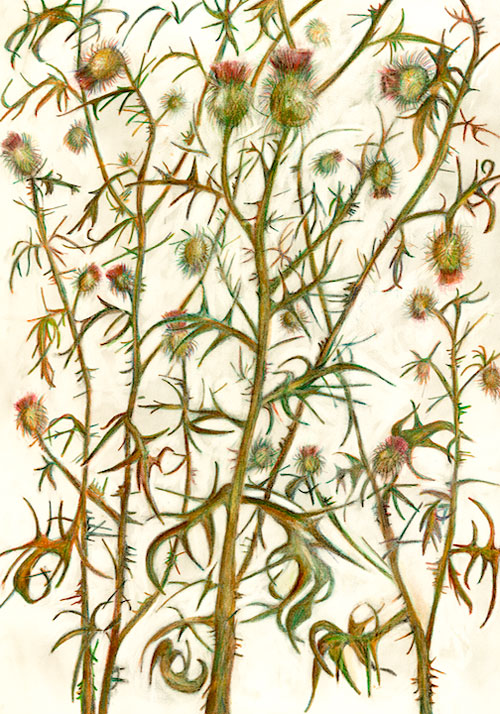 """Thistle"" 2004 (watercolor, colored pencil, and graphite on paper, 30 x 22"")  Private collection."